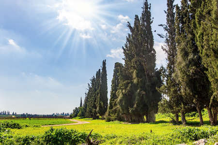 Wide green meadow with lush tall grass. Israel.  Warm sunny february day. Spring green world. Tall slender cypress trees grow around the meadow.
