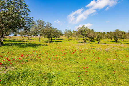 Green lawn with blooming red anemones. Spring green world. Warm sunny day. Desert acacias turn green with young leaves. Israel.