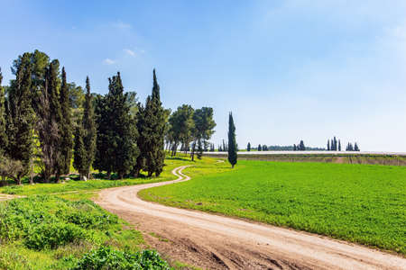 Decorative scenic cypress trees grow around the garden. Warm sunny february day. Israel. Wide dirt road crosses a flowering meadow