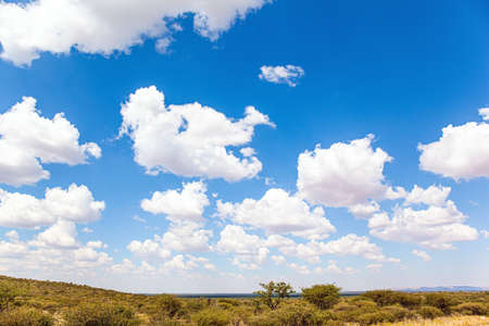 Flat savanna covered with dry yellow grass and rare desert acacias. Lush clouds float in the blue sky. Travel to Africa. The magical desert in Namibia. Hot day.