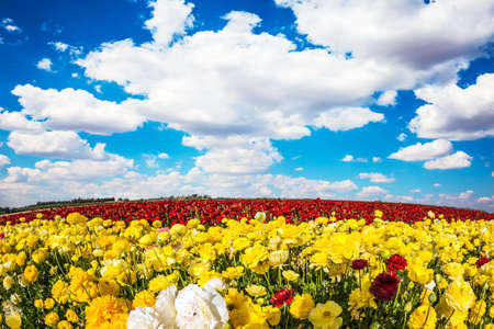 Lush yellow and red garden buttercups in a kibbutz field with a magnificent carpet. Sea of flowers. Israel. Wonderful trip for spring beauty Фото со стока