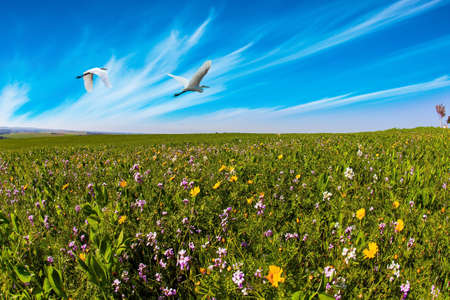 Two herons flying over the green grass field. Spring bloom of the Negev Desert in Israel. Fields of flowers in the bright southern sun. Blue sky and light clouds. Lovely warm day