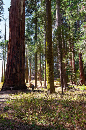 Sequoia Park in California, USA. Redwood. Sequoia is a tree of the Cypress family. The natural range of the genus is the Pacific coast of North America. Travel to America. Фото со стока