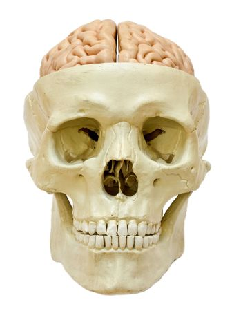 visible: Model of a skull with visible brain, isolated on white background.