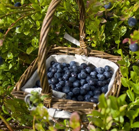blueberry bushes: A basket full of european blueberries (bilberries) between blueberry bushes