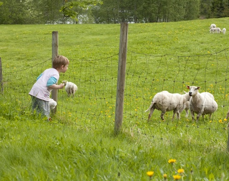 Child smiling to pregnant sheep in a field photo