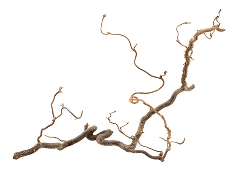 Decorative branch of corkscrew hazel isolated on white