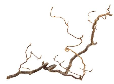 hazel branches: Decorative branch of corkscrew hazel isolated on white