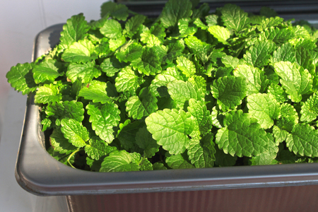 Young green leaves of lemon balm in a pot. Watering and growing of young plants on the windowsill at home. 写真素材 - 122675372