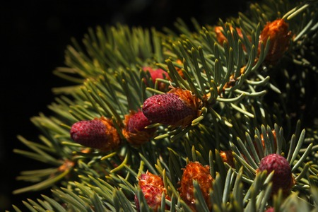 Beautiful color new fir cones on green branches Standard-Bild