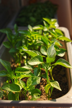 Close up of young red Chili pepper tree with fresh green leaves, growing at the windowsill at home. Watering young shoots of greens in a pot.