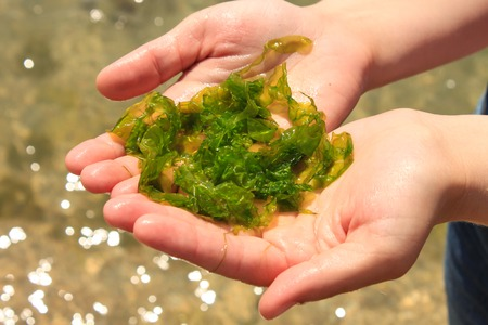 Young woman holds in hands fresh green laminaria seaweeds on the sea water background. Holds in hands. Breakfast, lunch, dinner. Raw, vegan, vegetarian healthy food, japanese cuisine recipes. Imagens