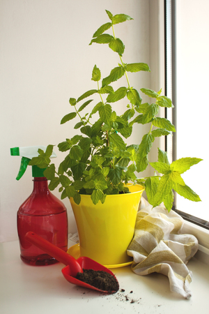 Home Organic Peppermint, Mentha piperita, on a window sill. Yellow pot, red spray bottle and shovel with a ground.