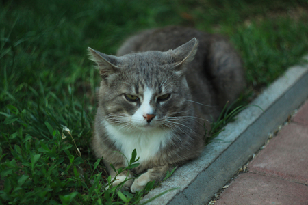 Portrait of a gray white cat lying on the green grass