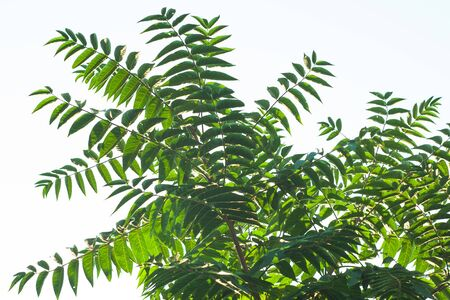 Ailanthus altissima fis a genus of trees belonging to the family Simaroubaceae. Branches with green leaves that look like a tall tropical palm tree. Ailanto, Tree of Heaven. Nature background. Stok Fotoğraf