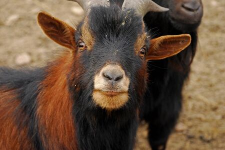 The Cameroon goat or African pygmy goat is a breed of miniature domestic goat. Cameroon goats have the natural passion for high jumps and tree climbing.That is why they are jokingly called wood goats.