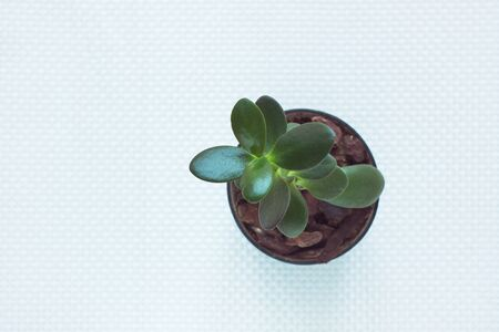 Minimal work space, green succulent Money tree in a pot on white textured background. Stylish home plants, office table, working place flowers. Top view , flat lay.