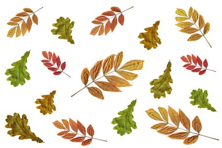 Colorful oak and ash autumn leaves isolated on a white background. Different colors and sizes. Yellow, red and green shades. Fall pattern, nature concept.
