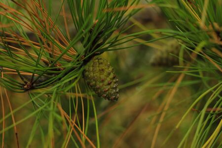 Beautiful young pine cones and needles on a branch. Bokeh blurred background. Copy space, wallpaper. Poster for home and office. Juicy fresh shades of green color.
