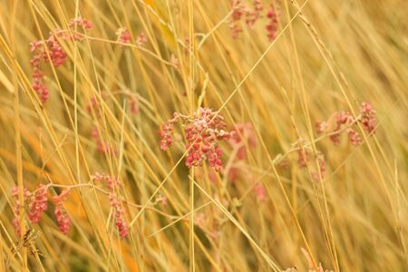 Dried grass with red flowers. Straw, hay on a foggy day, bokeh light background with selective focus, copy space. Wallpaper.