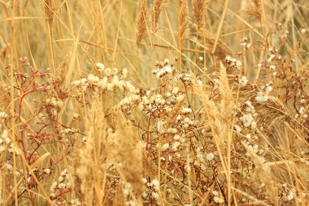 Dried grass with white fluffy flowers. Straw, hay on a foggy day, bokeh light background with selective focus, copy space. Wallpaper.