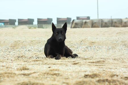 A black dog is sitting on the sand beach. Cold foggy rainy weather. Walking with pets. Travel street photography. Autumn and winter sea shore background.
