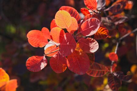 Beautiful tree with bright red and orange leaves. Brunches of wild European smoketree, Cotinus coggygria bush. Nature wallpaper with blurred bokeh lights, poster for home and office. Copy space.