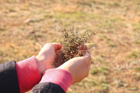 Collection of natural fresh herbs. Harvesting thyme. Wild healing plants in female hands on a background of beautiful nature. Increased immunity folk remedies.Phyto cold medicine,homeopathy treatment. Stock Photo