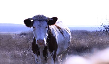 Cute white and brown cow with a chain on the head and horns on a dry grass meadow looking to a camera with nature on the blurred background.