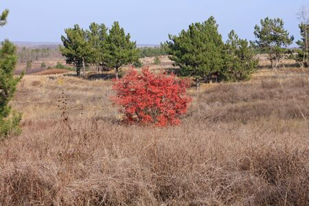 Beautiful alone tree with bright red and orange leaves on a background of autumn field and pines.Brunches of wild European smoketree,Cotinus coggygria bush.Nature wallpaper,poster for home and office.