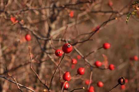 Rosehip on branches on a bush in the forest. Fresh ripe wild berries harvest concept. Autumn nature wallpaper, travel photo, walks in the garden. Vitamins treatments for immunity and cold remedies.