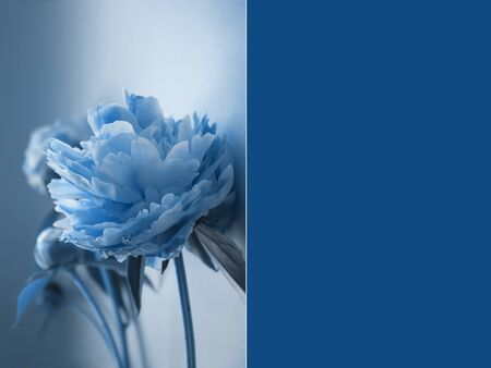 Beautiful peony flowers in Classic Blue color of the Year 2020, natural background with copy space for your text, creative minimalism style. Social media picture, greeting card, advertising banner. Reklamní fotografie