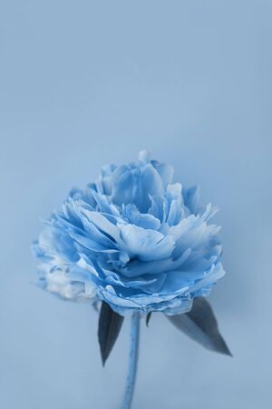 Beautiful peony flowers in classic blue color of the Year 2020, natural background with copy space for your text, creative minimalism style. Social media picture, greeting card, advertising banner.