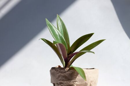Urban jungle gardening concept. Houseplant Tradescantia in a pot wrapped in kraft paper. Arrangement at window in living room, natural sunlight shadows. Interior design and styling indoor green plants