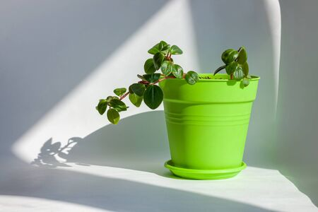 Urban jungle gardening concept. Houseplant in stylish bright green pot. Arrangement at window in living room, natural sunlight shadows. Interior design and styling indoor Peperomia or radiator plant.
