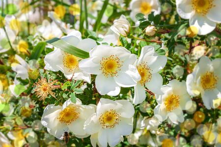 White rosehip flowers of a bush on a sunny day with blurred bokeh background. Wild dogrose green leaves. Greeting card copy space text.Healthy drinks, herbal boosting immune system,health care concept