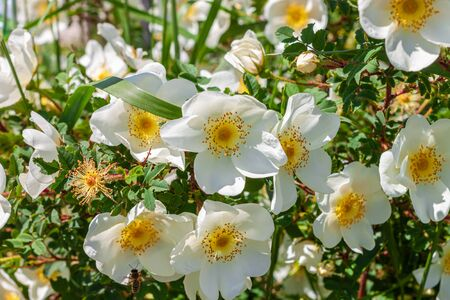 White rosehip flowers of a bush on a sunny day with grass background. Wild dogrose with green leave. Greeting card copy space for text.Healthy drinks, herbal boosting immune system,health care concept
