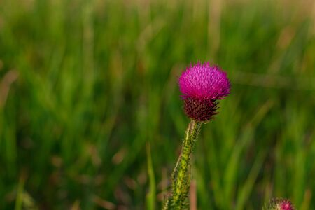 Purple thistle flower in the meadow on bokeh blurred background. Amazing wild violet flowers wallpaper. Nature photography with copy space. Floral greeting card, text sign. Natural colorful landscape Фото со стока
