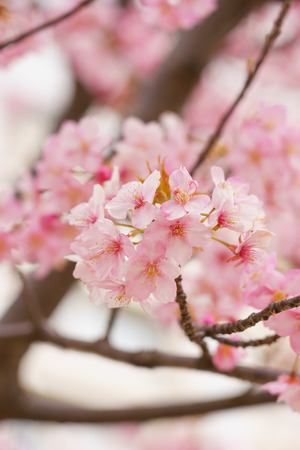 Cherry blossoms in Japan 写真素材