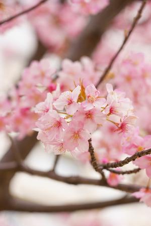 Fiori di ciliegio in Giappone