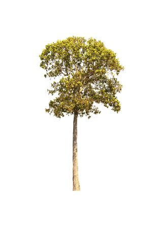 Big green tree. Has a little leaf Together as a bush on the White Blackground. Beautiful shrubs. A shade for relaxation. Banque d'images