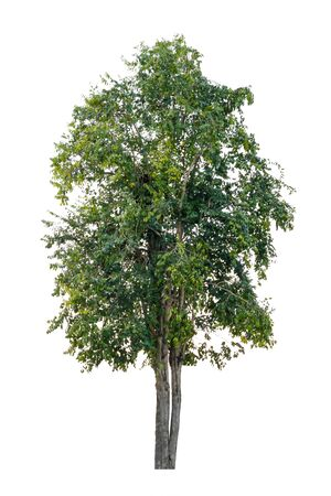 Tree isolated on white background. have green leaves and yellow leaves on a trees. Standard-Bild
