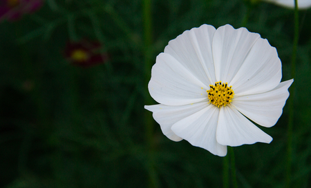 cosmos flower: cosmos flower