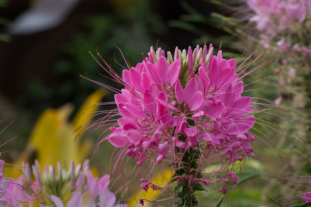 tare: flower tare of thailand