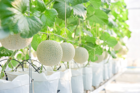 melon planted in a white bag. There are green leaves in the farm.