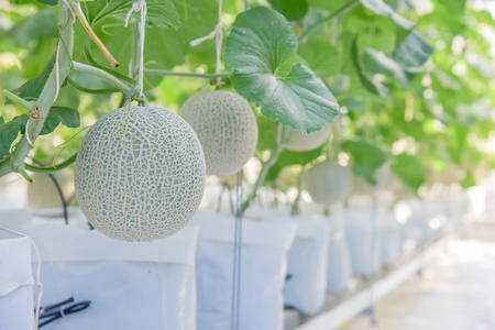 Melon planted in a beautiful white bag. There are green leaves in the farm.