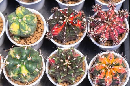 Beautiful colored cactus in pots, a variety of plant colors in the desert. Plants used as ornamental plants