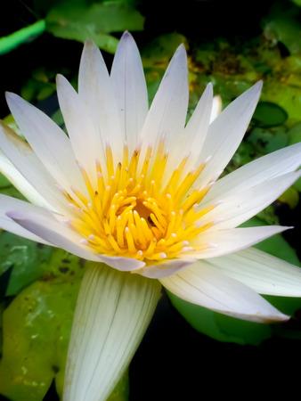 lilia: while lotus