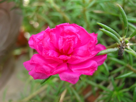 Portulaca oleracea flower