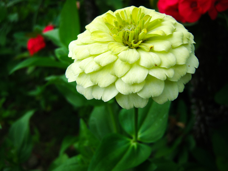 majors: zinnia Stock Photo
